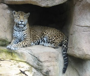 Jaguar Mommy