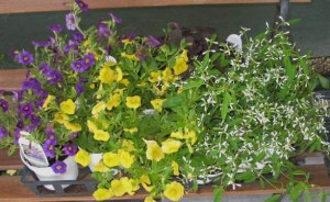 Annuals For Deck Planters